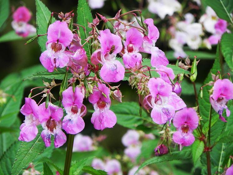 Impatiens - fiore - (impatiens glandulifera) tratto da giardinaggio.org