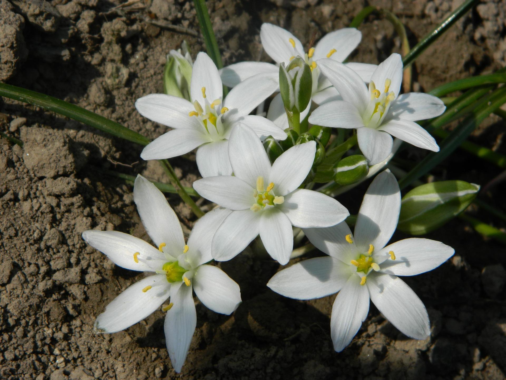 Star of Bethlehem - fiore (Ornithogalum - umbellatum)
