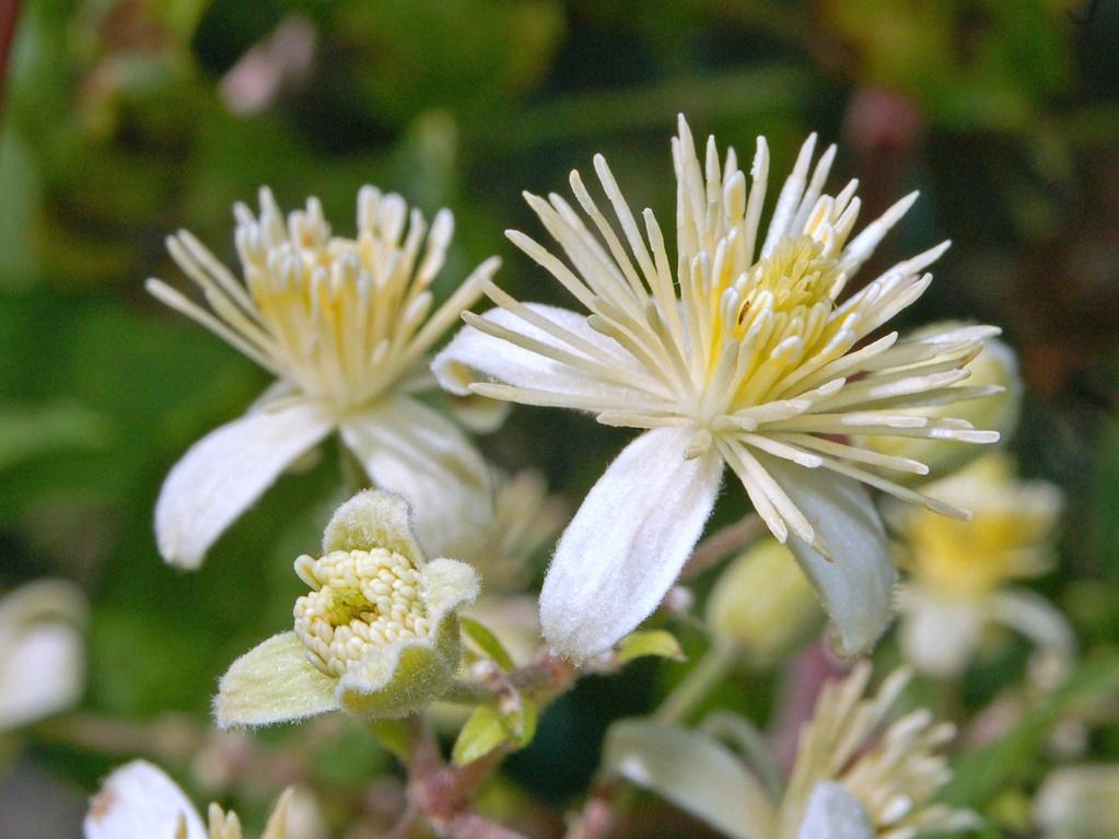 Ranuncolaceae - Clematis vitalba