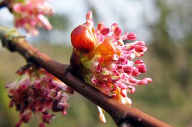 elm flower